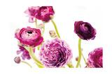 Spring Ranunculus IV Pôsters por Laura Marshall
