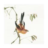 Mountain Bush Warbler Prints by Chris Paschke