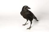 An American Crow, Corvus Brachyrhynchos. Photographic Print by Joel Sartore