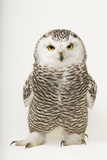 A Young Female Snowy Owl, Bubo Scandiacus. Stretched Canvas Print by Joel Sartore