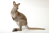 Red-Necked Wallabies, Macropus Rufogriseus, Have a Social Hierarchy. Photographic Print by Joel Sartore