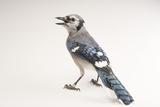 A Blue Jay, Cyanocitta Cristata. Photographic Print by Joel Sartore