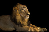 An Endangered  Male Asiatic Lion  Panthera Leo Persica