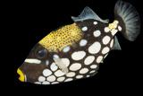 A Clown Triggerfish, Balistoides Conspicillum. Fotografisk tryk af Joel Sartore