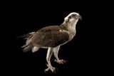 An Osprey, Pandion Haliaetus. Fotografisk tryk af Joel Sartore