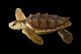 An Endangered Juvenile Loggerhead Sea Turtle, Caretta Caretta. Fotografisk tryk af Joel Sartore