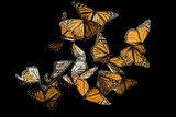 Monarch Butterflies, Danaus Plexippus, in the Sierra Chincua Mountains. Fotografisk tryk af Joel Sartore