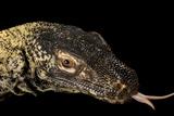 A Komodo Dragon, Varanus Komodoensis. Photographic Print by Joel Sartore