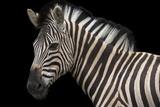 A Damara Zebra or Burchell's Zebra, Equus Quagga Burchellii. Fotografisk tryk af Joel Sartore