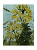 Yellow Cleome Impressão giclée por Megan Moore