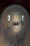 Front View of a White-Eyed Moray Eel Fotografie-Druck von  Stocktrek Images
