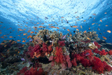 Schooling Anthias Fish and Healthy Corals of Beqa Lagoon, Fiji Fotografie-Druck von  Stocktrek Images