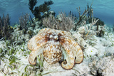 A Caribbean Reef Octopus on the Seafloor Off the Coast of Belize Fotoprint van Stocktrek Images,