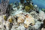A Caribbean Reef Octopus on the Seafloor Off the Coast of Belize Fotoprint van Stocktrek Images,
