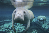 A Pair of Manatees Swimming in Fanning Springs State Park, Florida Lámina fotográfica por Stocktrek Images,