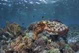 A Broadclub Cuttlefish Swims Above a Diverse Reef in Indonesia Fotoprint van Stocktrek Images,