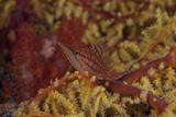 Longnose Hawkfish on Soft Coral, Fiji Fotografisk tryk af Stocktrek Images,