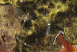 A Translucent Cuapetes Commensal Shrimp with Orange Claws Fotografie-Druck von  Stocktrek Images