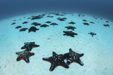 Starfish Cover the Sandy Seafloor Near Cocos Island, Costa Rica Fotografie-Druck von  Stocktrek Images