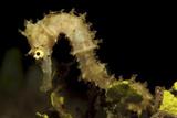 Side View of a Pale Cream Colored Thorny Seahorse Lámina fotográfica por Stocktrek Images,