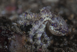 A Blue-Ringed Octopus Lings to the Seafloor in Lembeh Strait, Indonesia Fotoprint van Stocktrek Images,