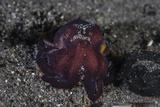 A Coconut Octopus Crawls across the Sandy Seafloor Fotoprint van Stocktrek Images,