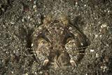 A Spearing Mantis Shrimp in its Burrow, Indonesia Fotografisk tryk af Stocktrek Images,