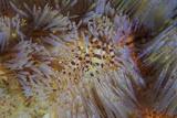 A Pair of Coleman's Shrimp Live Among the Venomous Spines of a Fire Urchin Fotografie-Druck von  Stocktrek Images