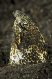 Marbled Snake Eel Emerging from Black Volcanic Sand Fotografisk tryk af Stocktrek Images,