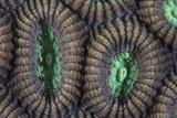 Detail of Coral Polyps on a Reef in Lembeh Strait Fotoprint van Stocktrek Images,