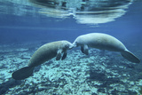 A Pair of Manatees Appear to Be Greeting Each Other, Fanning Springs, Florida Lámina fotográfica por Stocktrek Images,