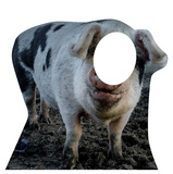 Pig Stand-In Cardboard Cutouts