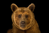 A Vulnerable Syrian Brown Bear, Ursus Arctos Syriacus, at the Budapest Zoo. Fotografisk tryk af Joel Sartore