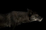 A Gray Wolf  Canis Lupus