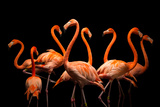 American Flamingos  Phoenicopterus Ruber  at the Lincoln Children's Zoo