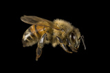 Portrait of a Honeybee, Apis Mellifera. Photographic Print by Joel Sartore