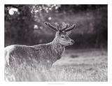 Velvet Antlers II Prints by Joe Reynolds