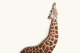 A Reticulated Giraffe  Giraffa Camelopardalis Reticulata