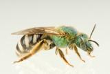 Female Sweat Bee or Halictid Bee  Agapostemon Virescens