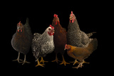 Plymouth Barred Rock, Silver Laced Wyandotte, Nh Red, a Black Sex Link and Bantam Hens. Fotografisk tryk af Joel Sartore