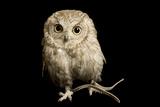 A Western Screech Owl  Sonoran Desert Colorphase (Otus Kennicottii)
