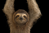 A Brown Throated Three Toed Sloth, Bradypus Variegatus. Fotografisk tryk af Joel Sartore