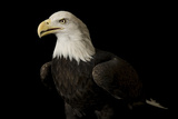 A Bald Eagle Haliaeetus Leucocephalus, at the George M. Sutton Avian Research Center. Fotografisk tryk af Joel Sartore