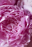 Peony Photographic Print by Karyn Millet