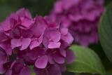 Pink Hydrangeas V Impressão fotográfica por Rita Crane