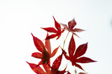 Japanese Maple IV Reproduction photographique par Beth Wold