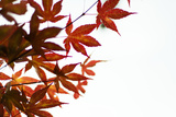 Japanese Maple I Reproduction photographique par Beth Wold