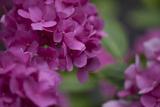 Pink Hydrangeas I Impressão fotográfica por Rita Crane