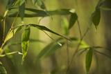 Bamboo Afternoon XII Impressão fotográfica por Rita Crane