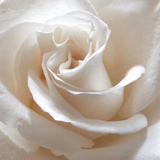 Rose blanche II Reproduction photographique Premium par Monika Burkhart
